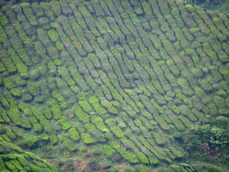 tea_plantation3